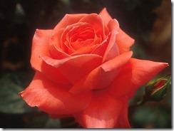 Flower1-003